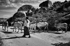 Herding in Hampi
