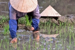 Hats in the Rice Field